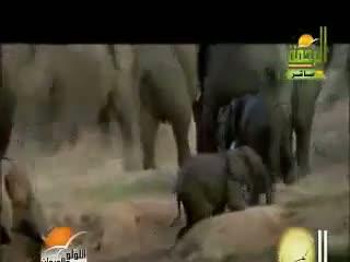 مرگ غم انگیز یک خانواده فیل بعد از مرگ فرزندشان
